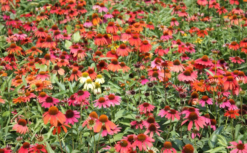 echinacea summer blooming perennials